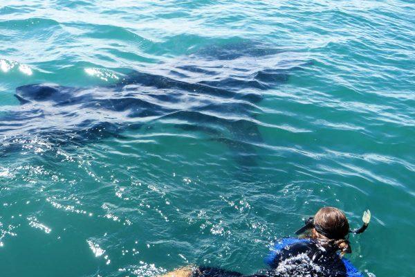 whale-sharks-6